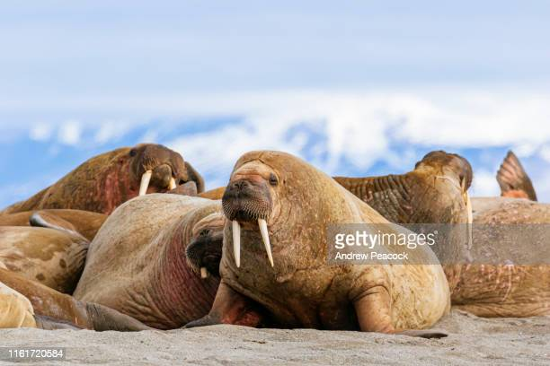 walrus haul out - aquatic mammal stock pictures, royalty-free photos & images