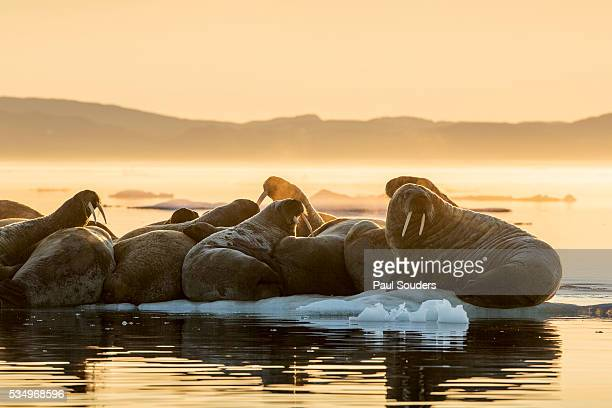 walrus herd on ice, hudson bay, nunavut, canada - nunavut stock pictures, royalty-free photos & images