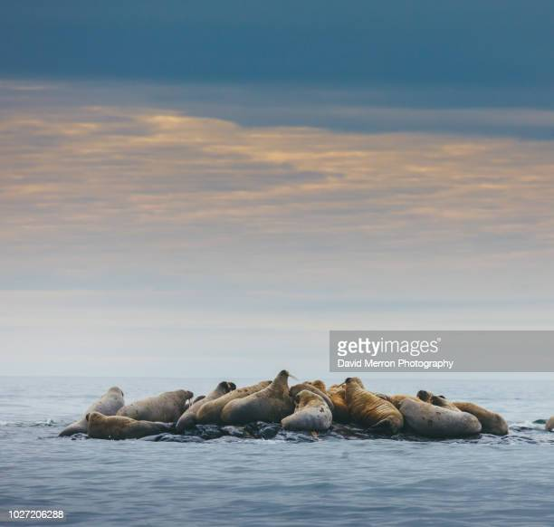 walrus herd - walrus stock photos and pictures