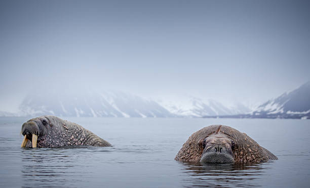 Two Walrus In Water Wall Art