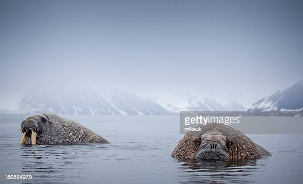 Walrus in natural Arctic habitat Svalbard Norway