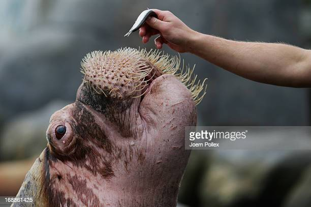 A walrus is fed with fish by a zookeeper during a baby animals inventory at Hagenbeck zoo on May 16 2013 in Hamburg Germany