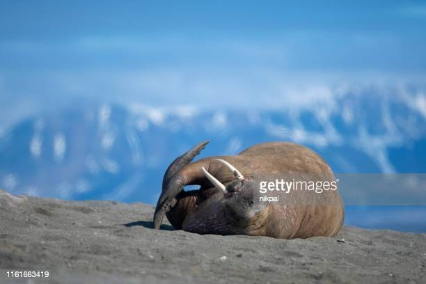 walrus lay down in a sandy beach with mountians on the background at svalbard islands - walrus stock pictures, royalty-free photos & images