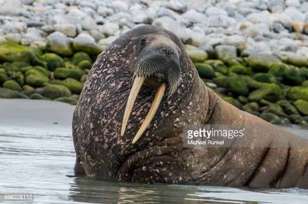 Walrus (Odobenus rosmarus), Magdalenen Fjord, Svalbard, Arctic, Norway, Scandinavia, Europe