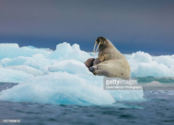 walrus mother and calf - walrus stock photos and pictures