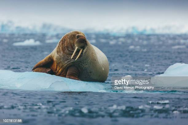 walrus norway - aquatic mammal stock pictures, royalty-free photos & images