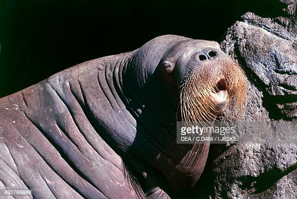 Walrus Odobenidae