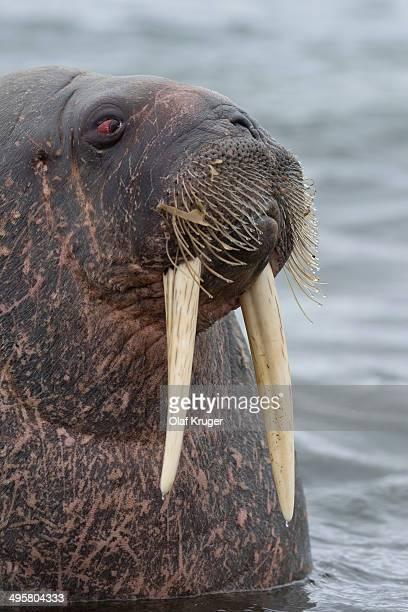 Walrus -Odobenus rosmarus-, Phippsoya, Sjuoyane, Svalbard Archipelago, Svalbard and Jan Mayen, Norway
