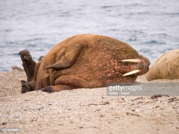 Walrus (Odobenus rosmarus) off a beach in northern Svalbard