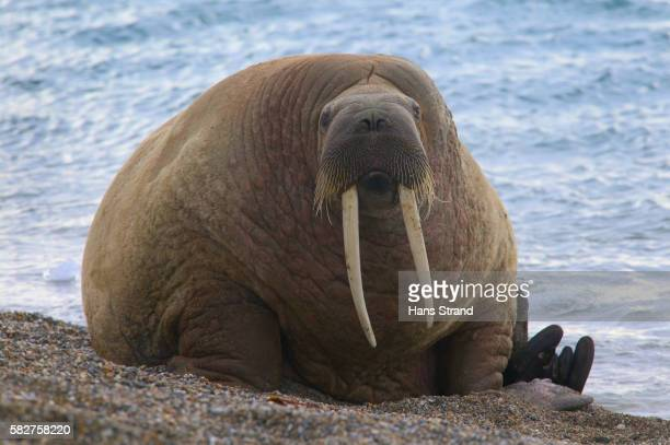 walrus on beach - walrus stock pictures, royalty-free photos & images
