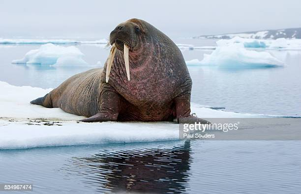 walrus on ice - walrus stock photos and pictures