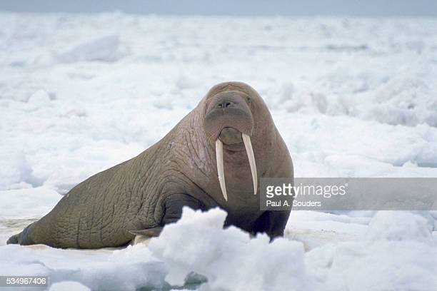 walrus on pack ice - walrus stock photos and pictures