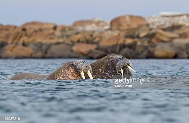 walrus pair (odobenus rosmarus) at sea in svalbard - pair stock pictures, royalty-free photos & images