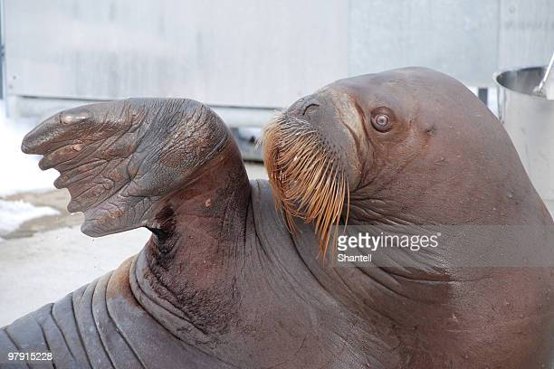 walrus - walrus stock photos and pictures