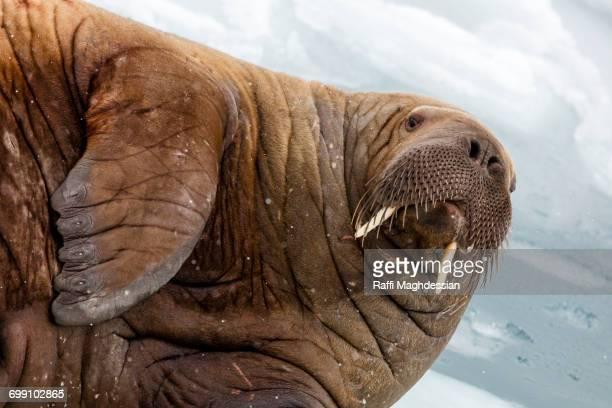 walrus portrait, odobenus, rosmarus, spitzbergen, svalbard - walrus stock photos and pictures