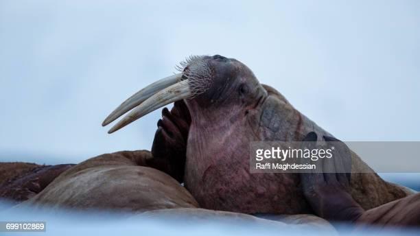 Walrus portrait, Odobenus Rosmarus, Spitzbergen, Svalbard