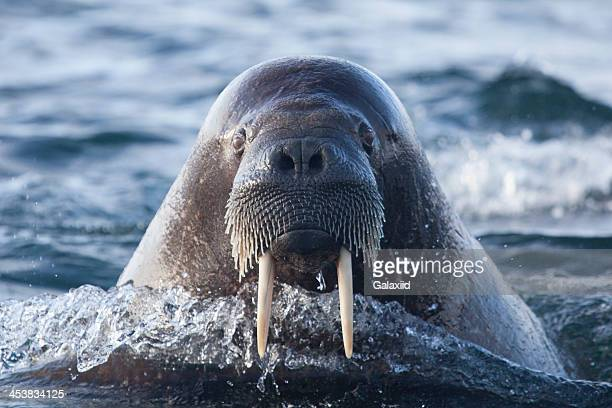 walrus profile - walrus stock photos and pictures