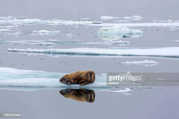 Walrus resting on ice floe in the Arctic Ocean at Svalbard / Spitsbergen, Norway.