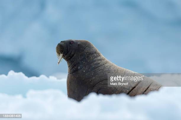 walrus resting - svalbard and jan mayen stock pictures, royalty-free photos & images