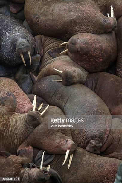 walrus rookery - rookery stock pictures, royalty-free photos & images