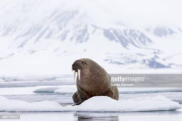 walrus (odobenus rosmarus) sitting on ice floe, spitsbergen, svalbard, norway - walrus stock photos and pictures