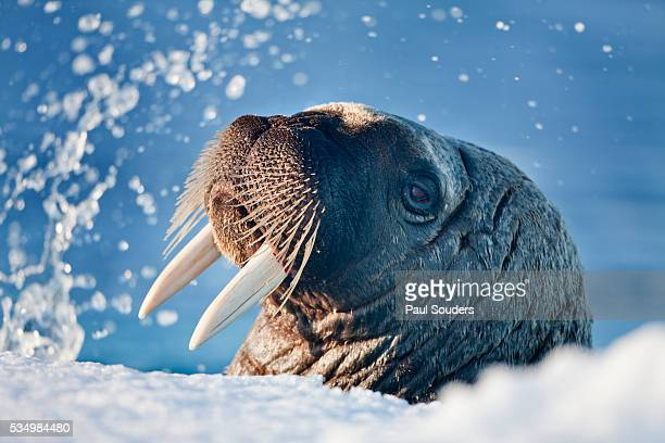 walrus, svalbard, norway - walrus stock pictures, royalty-free photos & images