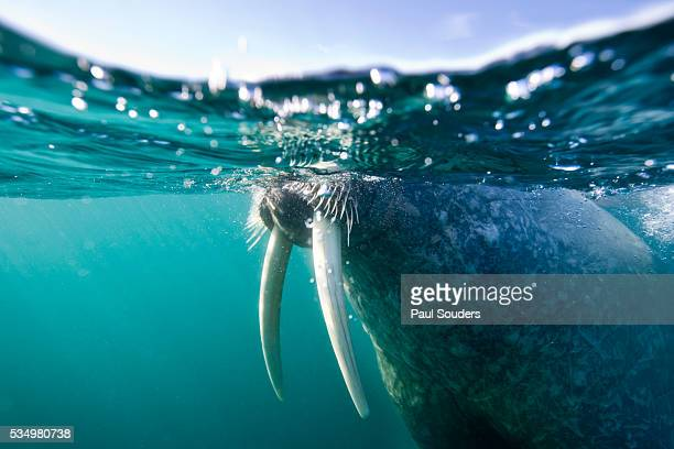 walrus swimming at water surface near tiholmane island - walrus stock photos and pictures