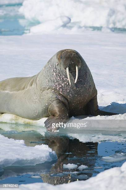 Walrus Testing the Water with a Flipper