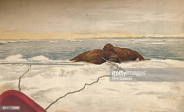 Walruses Killed Off The East Coast of the Taimyr Peninsula 12th September 1893 WaterColour Sketch from Farthest North Vol 1 by Fridtjof Nansen...