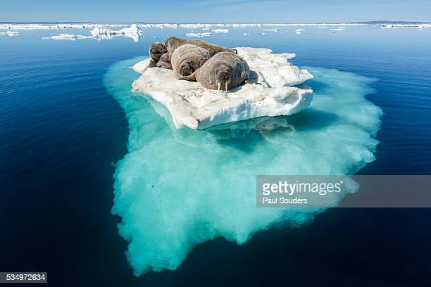 walruses on iceberg, hudson bay, nunavut, canada - walrus stock photos and pictures