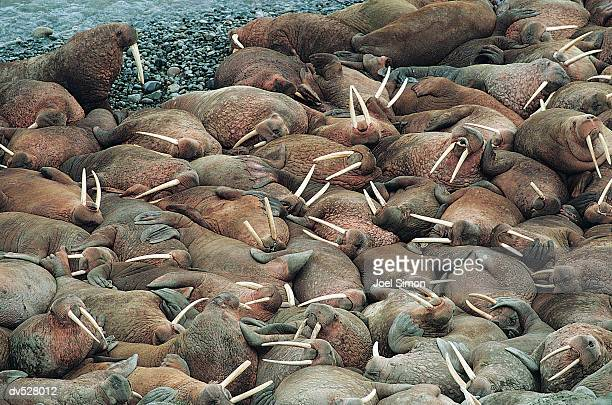 walruses (odobenus rosmarus) - walrus stock photos and pictures