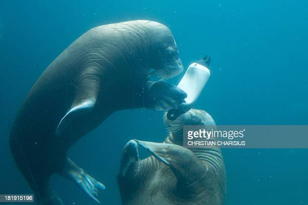 Walruses play with a plastic buoy in a pool at the Tierpark Hagenbeck zoo in Hamburg northern Germany on September 26 2013 AFP PHOTO / DPA /...