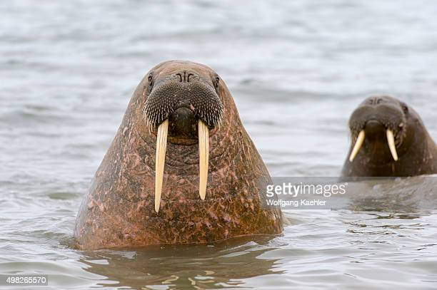 Walruses popping their heads out of the water at Kapp Lee on the Island of Edgeoya, Svalbard, Norway.