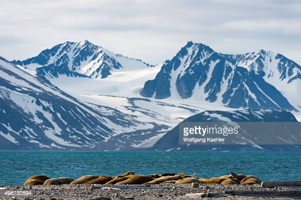 Walruses resting on a beach at Smeerenburg Amsterdam Island in northwest Svalbard a former whaling station originated with Danish and Dutch whalers...