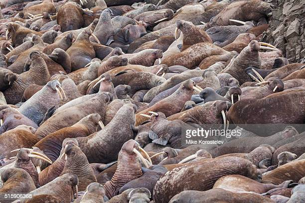 walruses rookery - large group of animals stock pictures, royalty-free photos & images