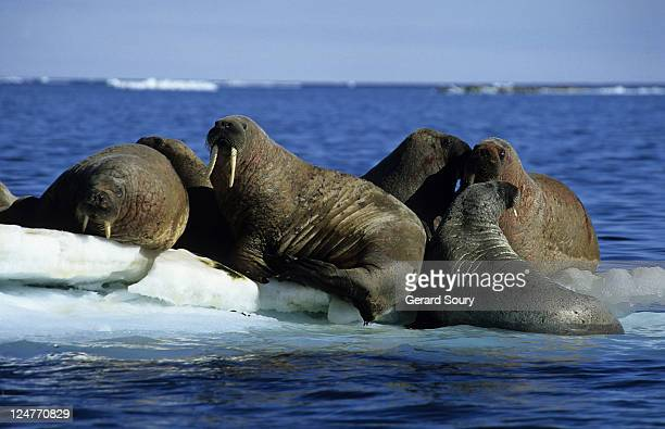 walrus,odobenus rosmarus, group on ice floe, baffin island, canada - atlantic ocean stock pictures, royalty-free photos & images