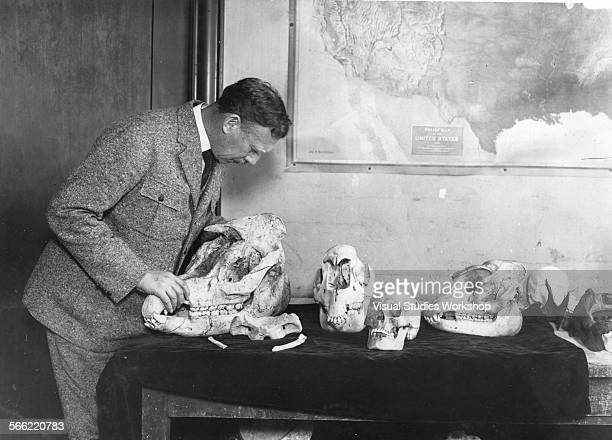 Walter Granger paleontologist of the Third Asiatic Expedition of the American Museum of Natural History with three types of fossil skulls of Tapers...