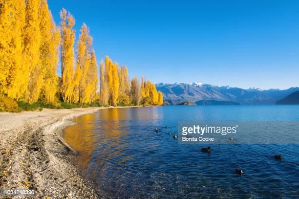 wanaka shoreline poplar trees in autumn, lake wanaka - wanaka - fotografias e filmes do acervo