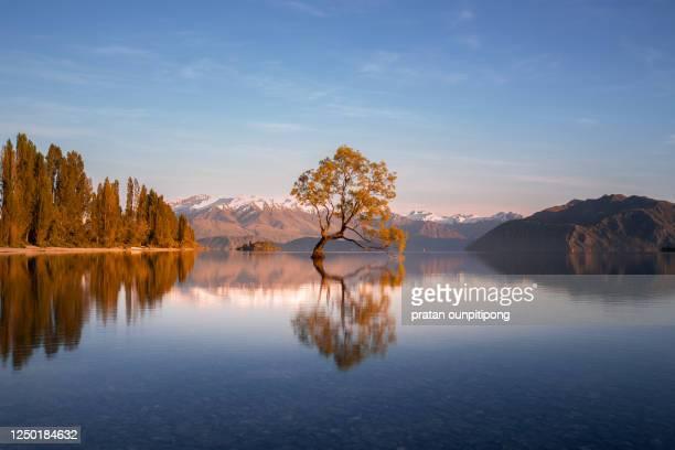 wanaka willow tree in autumn - nova zelândia imagens e fotografias de stock