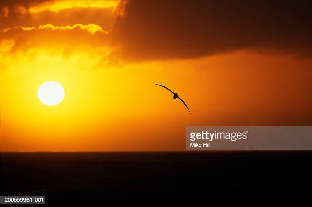 wandering alabatross in flight at sunset - albatross stock pictures, royalty-free photos & images