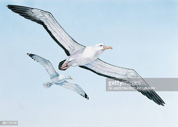 Wandering albatross and a yellowlegged gull flying