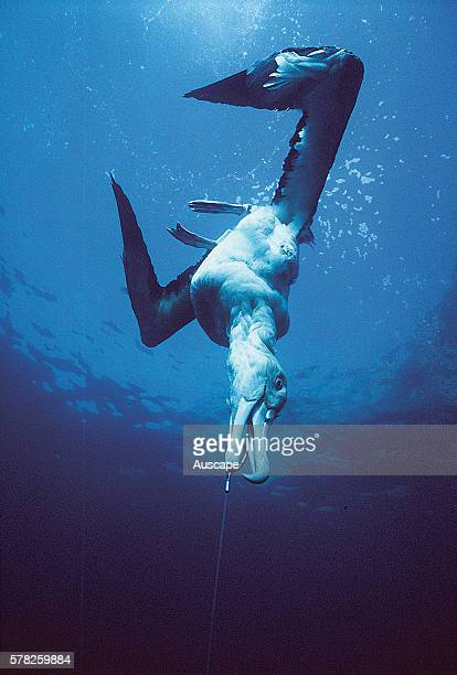 Wandering albatross Diomedea exulans drowned after being hooked on long line from an Asian fishing trawler Tasman Sea Australia