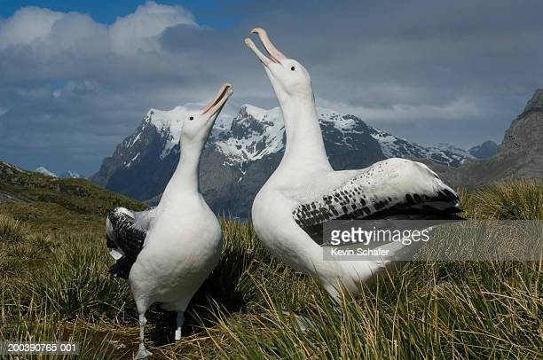 wandering albatross (diomedea exulans) displaying to each other - animal call stock pictures, royalty-free photos & images