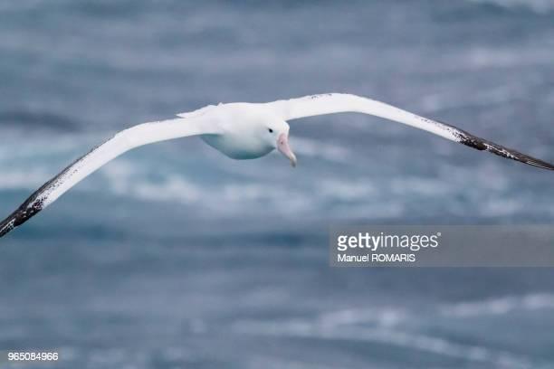 wandering albatross, drake passage, antarctica - albatross stock pictures, royalty-free photos & images