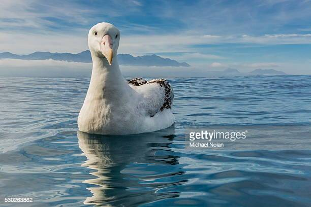 Wandering albatross (Diomedea exulans) in calm seas off Kaikoura, South Island, New Zealand, Pacific