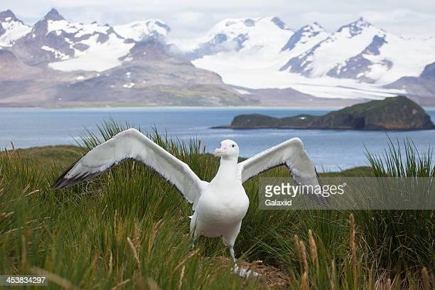 Wandering Albatross in South Georgia