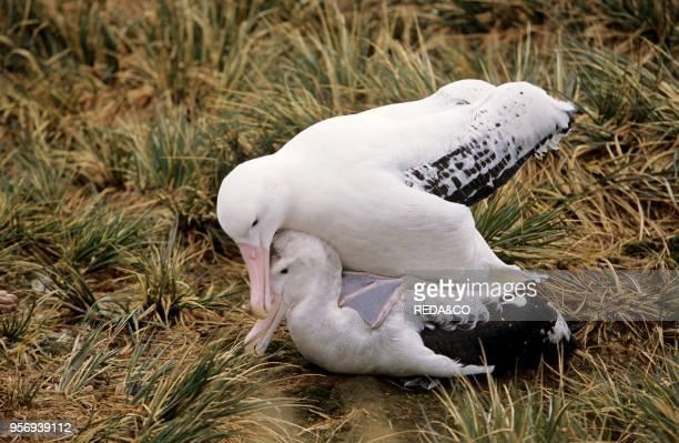 Wandering Albatross Mating Island of South Georgia