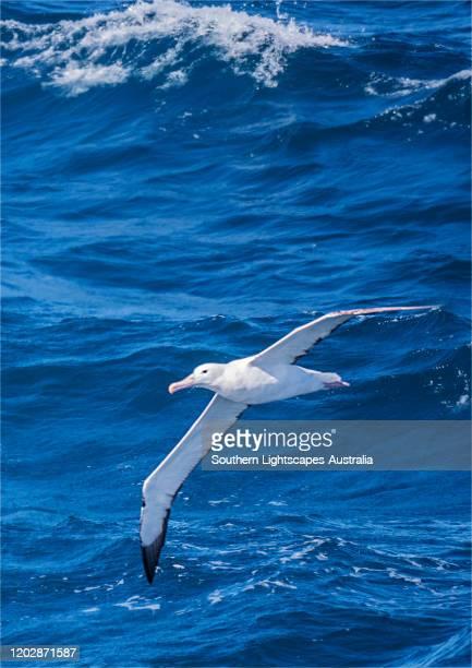 wandering albatross near half moon island, antarctic peninsular, antarctica. - albatross stock pictures, royalty-free photos & images