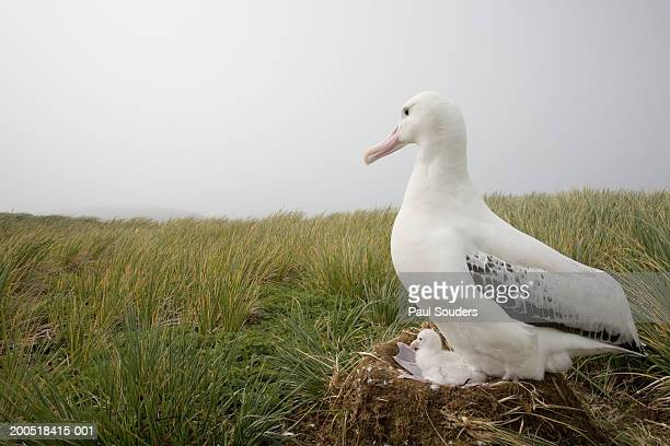 Wandering albatross (Diomedea exulans) on nest in tussock, side view