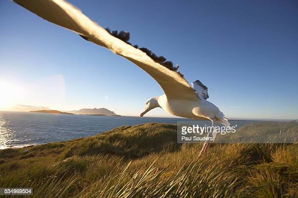 wandering albatross on south georgia island - albatross stock pictures, royalty-free photos & images